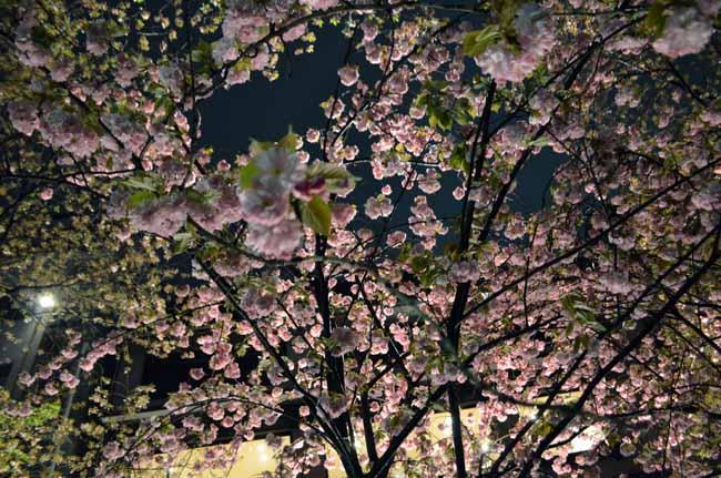 京都 先斗町 夜桜